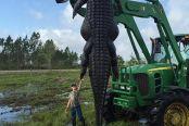 美国猎人捕获4.6米长短吻鳄:需拖拉机拖起