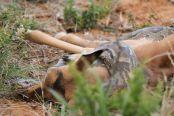 南非饥饿岩蟒吞下整只黑斑羚 画面震撼