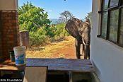 大象被偷猎者子弹击伤:仍向人类寻求帮助
