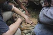 印尼老虎闯村庄觅食:被村民麻醉送动物园