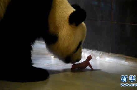 """中央赠澳大熊猫""""心心""""产下双胞胎一角"""
