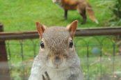 救救我啊~英呆萌松鼠被狐狸追踪敲窗求助
