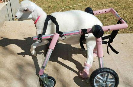残疾动物千奇百怪的假肢生活:重获新生一角