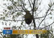 枝头惊现一物 鸟窝照旧蜂巢?