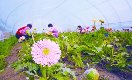 新港鲜切花基地是苏中地区最大的鲜切花连片基地