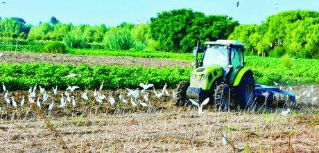 白鷺伴農耕