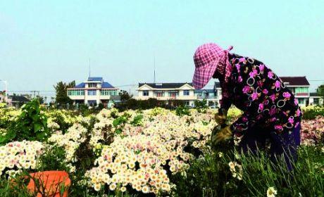 菊花種植助農增收