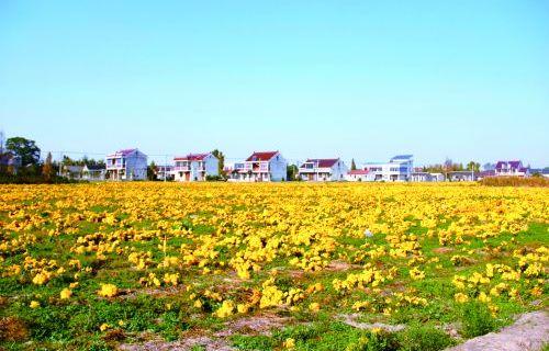 平园池:千亩菊花盛放 富了村民口袋