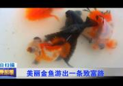美丽金鱼游出一条致富路