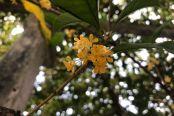 如皋水绘园风景区Q_Q你:百年桂花树 尽显古城秋之韵