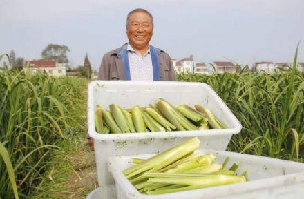 东陈镇南庄社区要装:百亩茭白喜迎丰收 每天采收5.5吨一角