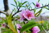 桃花朵朵开 有望丰收年