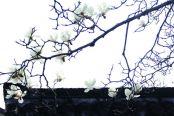 玉兰花竞相开放 赴一场热烈的春季