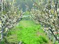 百亩梨花开 静待游客来