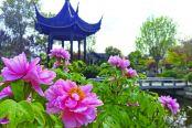 牡丹花开满园春