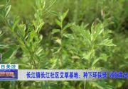 长江镇长江社区艾草基地:种下环保绿 收获黄金叶